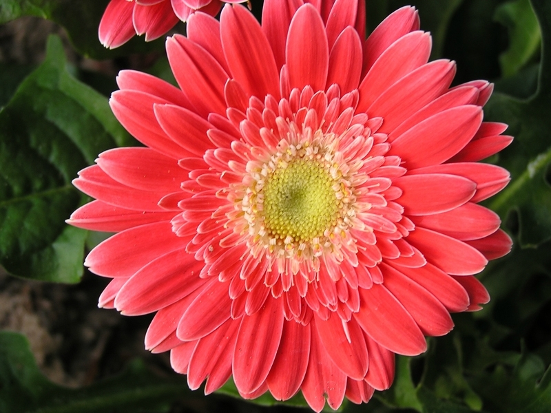 Гербера цветение уход в домашних условиях