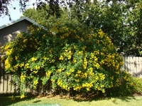 Gold_Flowers_Bush_1