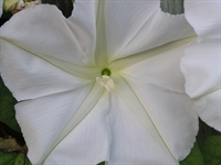 Moonflower_20046