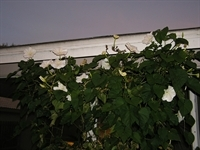 Moonflowers_