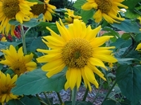 Sunflowers_184